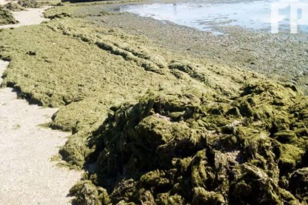 водоросли в Азовском море